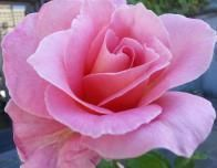 Pink Rose of the late spring season.