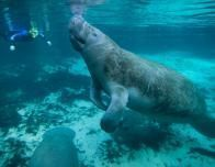 Meet your new friend, the manatee.