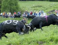 Cow fights in Valais, Switzerland