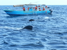 Whale Sharks and Boats