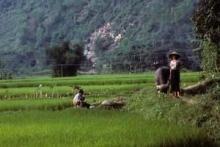 Water Buffalo in Vietnam