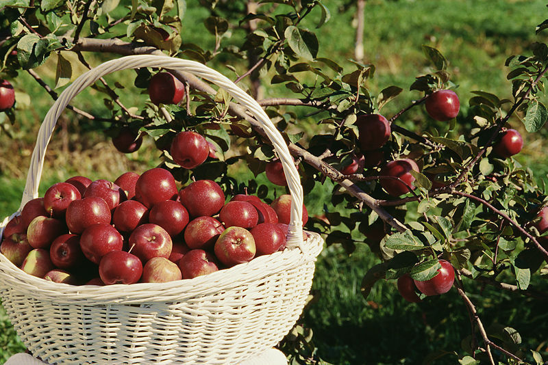 Apple picking is a fall favorite